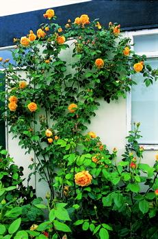 Graham thomas roses uk rose type thecheapjerseys Images