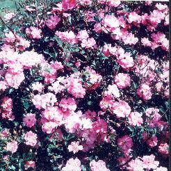 Magic Carpet Roses Uk