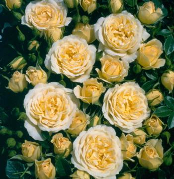 Sweet Memories Roses Uk