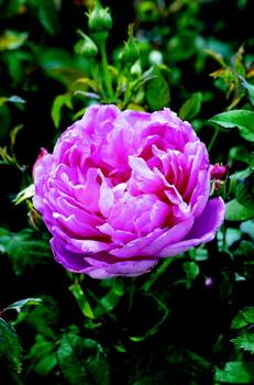 The Ingenious Mr Fairchild Roses Uk
