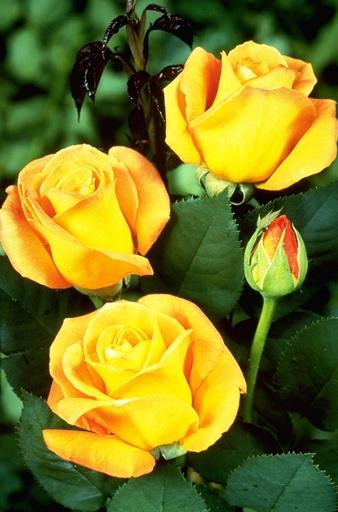 50 Year Old Whiskey >> Whisky Mac   Roses UK
